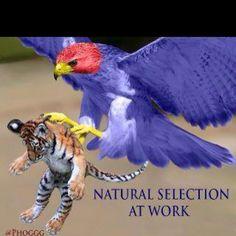 Jayhawks eating tiger!!!
