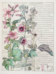 1910 Botanical Print by H. Isabel Adams Mallow by PaperPopinjay, $15.00