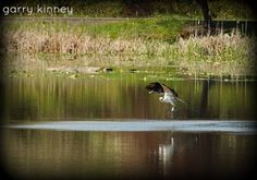 No fish for this osprey this time......but he will be back.