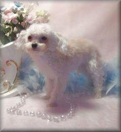 Miniature tea cup Poodles Puppies | Teacup poodle, tea cup poodle puppies for sale, Poodle breeder