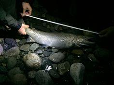 Sea trout
