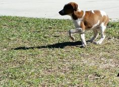 Check out Jilly's profile on AllPaws.com and help her get adopted! Jilly is an adorable Dog that needs a new home. https://www.allpaws.com/adopt-a-dog/australian-cattle-dog-blue-heeler-mix-brittany/4015213?social_ref=pinterest