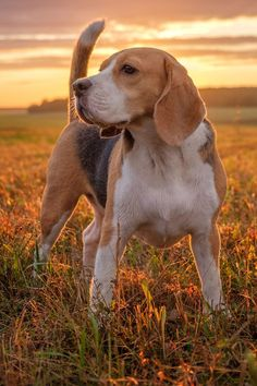 Cute Beagles, Cute Puppies, Cute Dogs, Dogs And Puppies, Doggies, Beagle Colors, Cute Dog Wallpaper, Iphone Wallpaper, Dog Poses