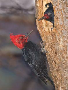 Pica-Pau Carpinteiro Negro ou Carpintero Gigante -  ( Campephilus magellanicus ) - ( Macho -  Cabeça Vermelha / Fêmea - Cabeça Preta )  - Argentina
