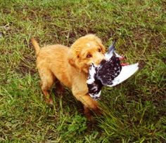 baby nova scotia duck tolling retriever hunting pigeons