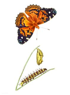 American painted lady Butterfly illustration from The Naturalist& Miscellany by George Shaw Butterfly Images, Butterfly Drawing, Vintage Butterfly, Butterfly Illustration, Plant Illustration, Watercolor Illustration, Image Painting, Woman Painting, Atlas Moth