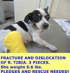 A4830666 My name is Joy and I'm an approximately 4 year old female rat terrier. I am not yet spayed. I have been at the Downey Animal Care Center since May 15, 2015. I am available on May 19, 2015. You can visit me at my temporary home at D714. https://www.facebook.com/photo.php?fbid=870565696357097&set=pb.100002110236304.-2207520000.1432724343.&type=3&theater