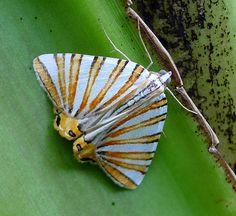 Geometer Moth, Pityeja species,  (histrionaria?) Geometridae by gailhampshire, via Flickr
