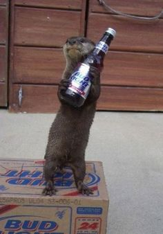 Were you in the mood for a beer? Otter's got ya covered. | 20 Unconventional Reasons To Be Friends With Otters