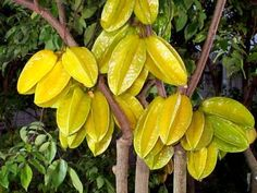 carambola (Star Fruit) Tropical Fruit Trees That Grow Best in SW Florida