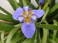 .: Orquídea Tigre :. by jbuchoa, via Flickr