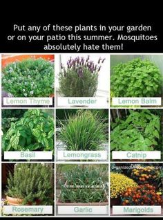 Deter mosquitoes with these plants.