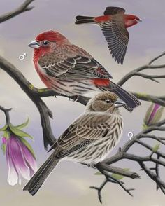 House Finch - Whatbird.com