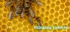 Stinging Insects:  Hornets, yellow jackets, carpenter bees, bumble bees, honey bees, ground bees, paper wasps, sand wasps, cicada killers, and other related species can easily become established in or on buildings, decks, sheds, garages, walls and fencing. Species including yellow jackets (ground bees), bald-faced hornets, bumble bees and cicada killers are found underground and/or in trees, shrubs and ground cover. To read more: www.greenpestsolutions.com/pest_control/stinging_insects.asp