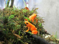 Kingdom Animalia, Golden Mantella Frog(by kenjet)