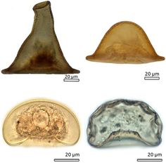 """What does the wizard Gandalf from """"The Lord of the Rings"""" trilogy have in common with a newly identified amoeba?   Here is an article about another ameoba (a study) describing evolution relating to ameobas http://www.dailymail.co.uk/sciencetech/article-3836553/How-complex-life-Earth-began-Amoebas-shed-light-evolution-creatures-800-million-years-ago.html"""