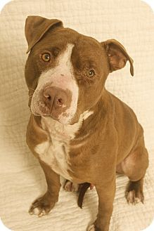 a young, affectionate rescue american staffordshire dog with spirit and lots of love to share. Gideons story touched my heart. cared for by the American Wellness Foundation. http://www.adoptapet.com/pet/10490072-marina-del-rey-california-american-staffordshire-terrier