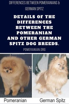 Details of the differences between the Pomeranian and other German Spitz dog breeds. Differences Between Pomeranians and German Spitz. Spitz Puppy, Spitz Pomeranian, Pomeranian Facts, Black Pomeranian, Cute Pomeranian, Pomeranians, Spitz Dog Breeds, Spitz Dogs, Puppy Husky