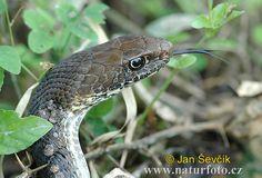neotropical whip snake