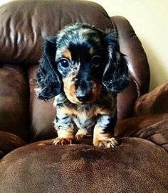 Dachshund – Friendly and Curious Dapple Dachshund Puppy, Dachshund Puppies For Sale, Wire Haired Dachshund, Dachshund Love, Dogs And Puppies, Daschund, Weenie Dogs, Pet Dogs, Doggies