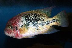 Fenestratum | Central American | American Cichlids | Fish | Smiths Aquarium