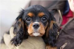 Pinewood's Sweet Sally (black & tan) Cavalier King Charles Spaniel from www.pinewoodcavapoos.com Find us on Facebook as Pinewood Kennels.