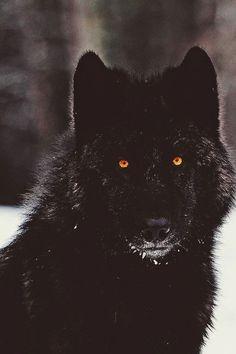 Black wolf with Orange Eyes