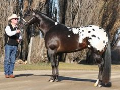Mr All Inclusive, Appaloosa Stallion in North Dakota | Appaloosa Horses for Sale