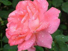 Rosa gotas de agua