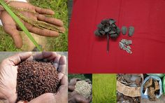 Medicinal Rice based Tribal Medicines for Diabetes Complications and Metabolic Disorders (TH Group-745) from Pankaj Oudhia's Medicinal Plant Database. Encyclopedia of Tribal Medicines by Pankaj Oudhia. #TribalMedicines
