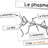 Sciences : les phasmes Science Lessons, Hair Accessories, Classroom, Learning, School, Kids, Books, Knowledge, Animal Science