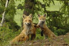 Red Foxes by Tundra Winds Images by Donna Dannen