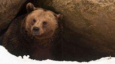 """Winterschlaf der Braunbären-Braunbären sind besonders anpassungsfähig: Im Zoo, wo es warm ist und täglich Futter gibt, halten sie keine Winterruhe. Doch in den nördlichen Regionen ihrer Heimat ist die Ruhephase überlebenswichtig. Bis zu sieben Monate verbringen sie in ihrer Höhle und schlafen. Ihr Herzschlag und Stoffwechsel verlangsamt sich, sie schalten auf """"Energiespar-Modus"""". In den gemäßigten Breiten Mitteleuropas verlassen sie ihre Höhle mehrmals während der Wintermonate."""