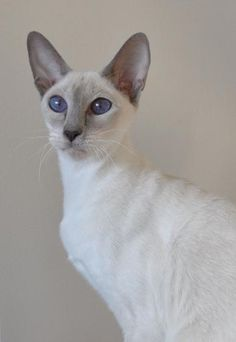 Lilac point siamese cat ~ I just love siamese cats  I had all the colors.  Except the hairless or tiger..