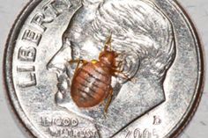 Top 10 Myths about Bedbugs [Slide Show]  Diatomaceous earth is an especially good way to combat bedbugs because they can't grow immune to it the way they can grow immune to chemical pesticides.