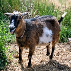 Can an Old Goat Still be an Active Goat? Let's Find Out with #SomaPet #spon
