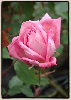 Tea Rose: Rosa 'Bon Silène' (France, 1837)