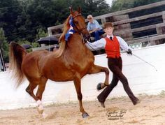 """The American Saddlebred is most well known as the """"peacock of the horse show world."""" In saddle seat and fine harness competition, they are flashy & high-stepping, with exaggerated action. Saddlebreds are sometimes used in western classes and in the sport horse disciplines. Saddlebreds are usually black, bay, or chestnut, but grays, cream dilutes, champagnes, tobianos, sabinos, & splash overos are also seen. Dun, frame overo, rabicano, appaloosa patterns, & true roan are not seen in the…"""