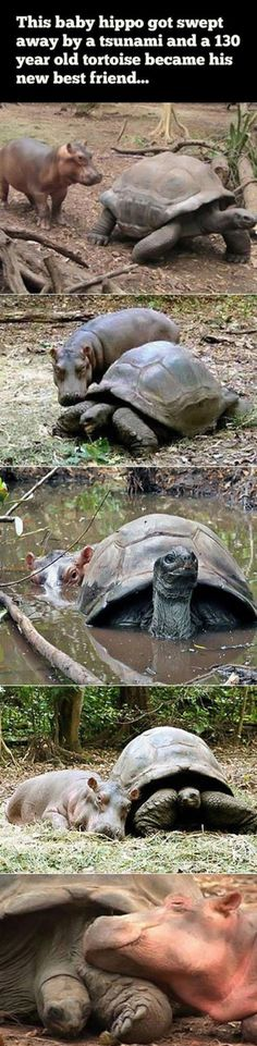 Baby Hippo and 130 year old Tortoise