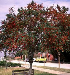 Greetings from Earth: Yaupon Holly - Ilex vomitoria Florida Landscaping, Pool Landscaping, Fast Growing Evergreens, Holly Tree, Clay Soil, Shade Trees, Colorful Trees, Native Plants, Trees To Plant