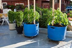 A container garden with tomato and basil plants in movable blue plastic barrels...love that you can easily move them in and out of the sun!