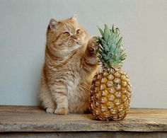Fat cat + pinapple = what's not to love?