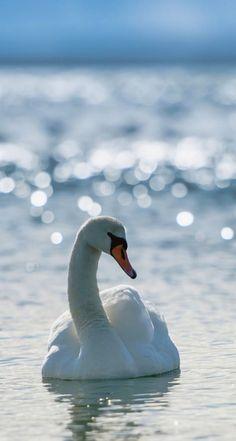 Gorgeous beautiful swan photo of birds. Beautiful Swan, Beautiful Birds, Animals Beautiful, Beautiful Things, Swans, Cygnus Olor, Cool Winter, Vida Animal, Retina Wallpaper
