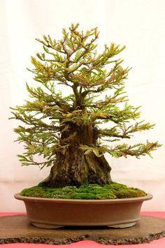 Bonsai Bark | Promoting and Expanding the Bonsai Univers #bonsai Bark | Promoting and Expanding the Bonsai Universe