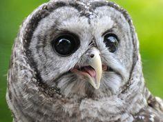 Elmo, the barred owl. Meet the Birds   Indiana Raptor Center, photo by David Orr.