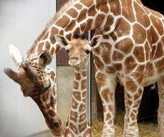 Binder Zoo!  Giraffe lovins to the extreme!  Battle Creek Michigan