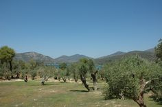 Olive grove Orchard from the Gera's Olive Grove ESTATE Olive Tree, Lodges, Acre, Natural Beauty, Greece, Island, Traditional, Landscape, Travel