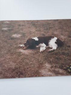 Chien Springer, Cow, Photos, Pictures, Cattle