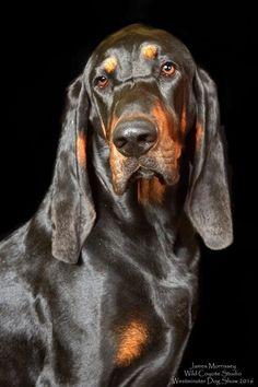 Hound Puppies, Hound Dog, Basset Hound, Dogs And Puppies, Doggies, Unusual Dog Breeds, Large Dog Breeds, Blue Tick Beagle, Puppy Cuddles