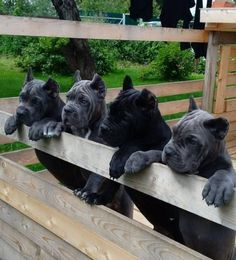I reallllly want a corso pup! Chien Cane Corso, Cane Corso Mastiff, Cane Corso Dog, Cane Corso Puppies, Mastiff Puppies, Cane Corso Italian Mastiff, Big Dogs, Cute Dogs, Dogs And Puppies